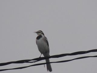鳴き声 セキレイ セキレイとは?鳥の鳴き声の種類や飼う場合の育て方について解説!